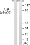 A0765-1 - Ah receptor / AhR