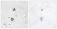 A0768-1 - Aquaporin-2 / AQP2