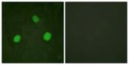 A0792-1 - Histone H3.3