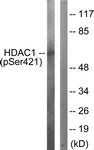 A0793-1 - HDAC1