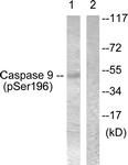 A0834-1 - Caspase-9