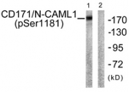 A0841-1 - CD171 / L1CAM