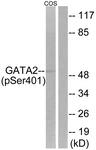 A0932-1 - GATA2