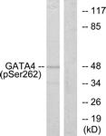 A0934-1 - GATA4
