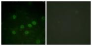 A0948-1 - Histone H1.5