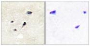 A1009-1 - Synapsin-1