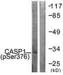 A1025-1 - Caspase-1