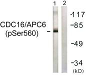 A1027-1 - CDC16 / APC6