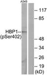 A1035-1 - HBP1