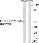 A1057-1 - CD213a1 / IL13RA1