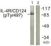 A1064-1 - CD124 / IL4R