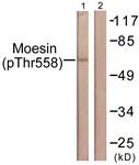 A1102-1 - Moesin