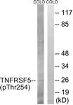 A1129-1 - CD40