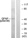 A1205-1 - GFAP