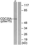 A7037-1 - CDC25A