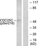 A7038-1 - CDC25C