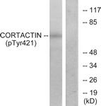A7049-1 - Cortactin