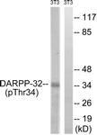 A7056-1 - DARPP32