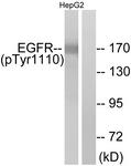 A7062-1 - EGFR / ERBB1