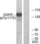 A7063-1 - EGFR / ERBB1