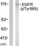 A7065-1 - EGFR / ERBB1