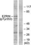 A7080-1 - Ezrin