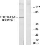 A7088-1 - FOXO4 / AFX1 / MLLT7