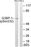 A7089-1 - G3BP1 / G3BP