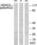 A7100-1 - HDAC4