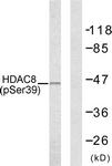 A7102-1 - HDAC8
