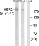 A7105-1 - CD340 / ERBB2 / HER2