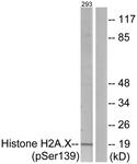 A7106-1 - Histone H2A.x
