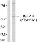 A7114-1 - CD221 / IGF1R