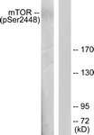 A7156-1 - mTOR / FRAP1