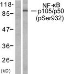 A7161-1 - NF-kB p105 / p50