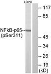 A7163-1 - RELA / NF-kB p65