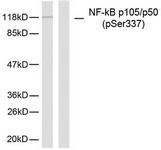 A7166-1 - NF-kB p105 / p50