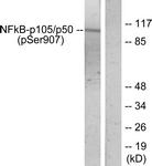 A7168-1 - NF-kB p105 / p50