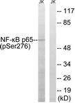A7169-1 - RELA / NF-kB p65
