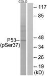 A7183-1 - TP53 / p53
