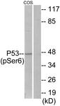 A7185-1 - TP53 / p53