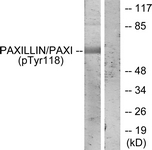 A7192-1 - Paxillin /  PXN