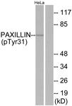 A7193-1 - Paxillin /  PXN