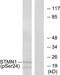A7231-1 - Stathmin / STMN1