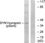 A7233-1 - Synapsin-1