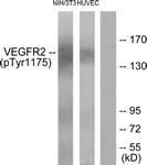 A7252-1 - CD309 / VEGFR-2 / Flk-1