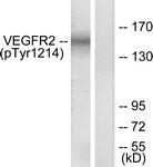 A7253-1 - CD309 / VEGFR-2 / Flk-1
