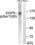 A8024-1 - EGFR / ERBB1
