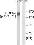 A8025-1 - EGFR / ERBB1