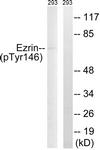 A8030-1 - Ezrin